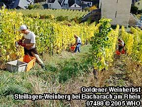 Goldener Weinherbst im Mittelrheintal bei Bacharach am Rhein